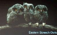 Screech Owls (click to enlarge)