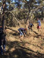 Volunteers clearing cedars (click to enlarge)