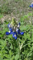 A early bluebonnet (click to enlarge)
