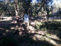 Dan using pick to remove cedar saplings (click to enlarge)