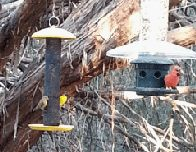 Birds enjoying a snack at the bird blind (click to enlarge)