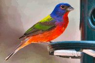 painted bunting at bird blind (click to enlarge)