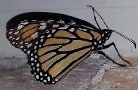 Monarch (click to enlarge)