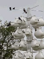 Purple martin colony (click to enlarge)
