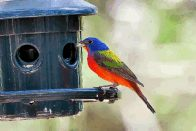 Painted bunting (click to enlarge)