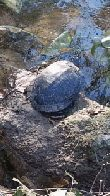 Turtle sunning on a rock in Hurst Creek near Justice Center. (click to enlarge)
