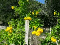Beatiful yellow blossums in the Butterfly Garden. (click to enlarge)