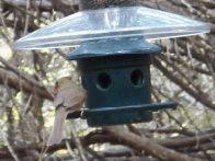 cardinal feeding at bird blind (click to enlarge)