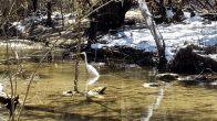 Heron wading in Hurst Creek (click to enlarge)