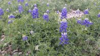 Early bluebonnets (click to enlarge)