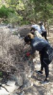 Volunteers removing dead rosemary shrubs in the Barnes Garden. (click to enlarge)
